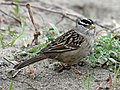 White-crowned Sparrow HMB RWD4.jpg