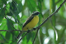 White-ringed Flycatcher 2014-11-16.jpg