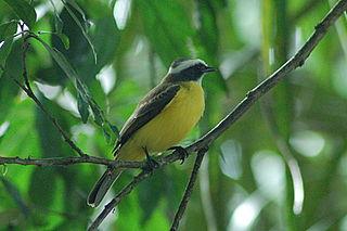 White-ringed flycatcher species of bird