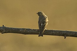 White-rumped Seedeater - Gambia (32270398890).jpg
