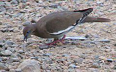 White-winged dove.jpg