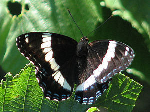 Limenitis arthemis - L. a. arthemis
