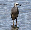 White Faced Heron (2).jpg