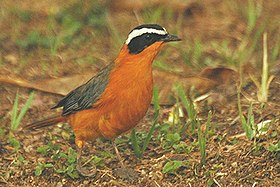 White browed robin chat1.jpg