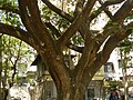 Wide canopy of rain Tree.jpg