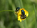 Wien-Hietzing - Naturschutzgebiet 1 - Lainzer Tiergarten - Dianawiese - unidentifizierte Käfer II.jpg