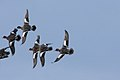 Wigeon in Flight.jpg