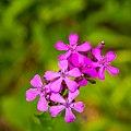 Wild Flower (19621844481).jpg