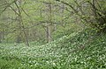Wild Garlic - geograph.org.uk - 7069.jpg