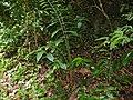 Wild Ginger (Zingiberaceae) (15609474706).jpg