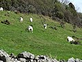 Wild Goats on the Great Orme - geograph.org.uk - 159310.jpg