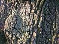 Wild Pear Tree Bark.JPG