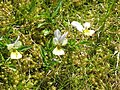 Wild pansies near the Sedling Vein - geograph.org.uk - 1438904.jpg