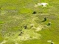 Wildebeest in de Okovango Delta (6558974521).jpg