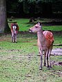Wildpark Alte Fasanerie Klein-Auheim Sikahirsch Juni 2012.JPG