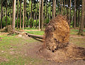 Wildpark Poing - fallen tree.JPG