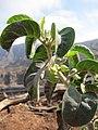 Withania grisea Djibouti.jpg