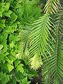 Wollemia nobilis03.jpg