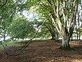 Wooded Area, Minchington Down - geograph.org.uk - 266158.jpg
