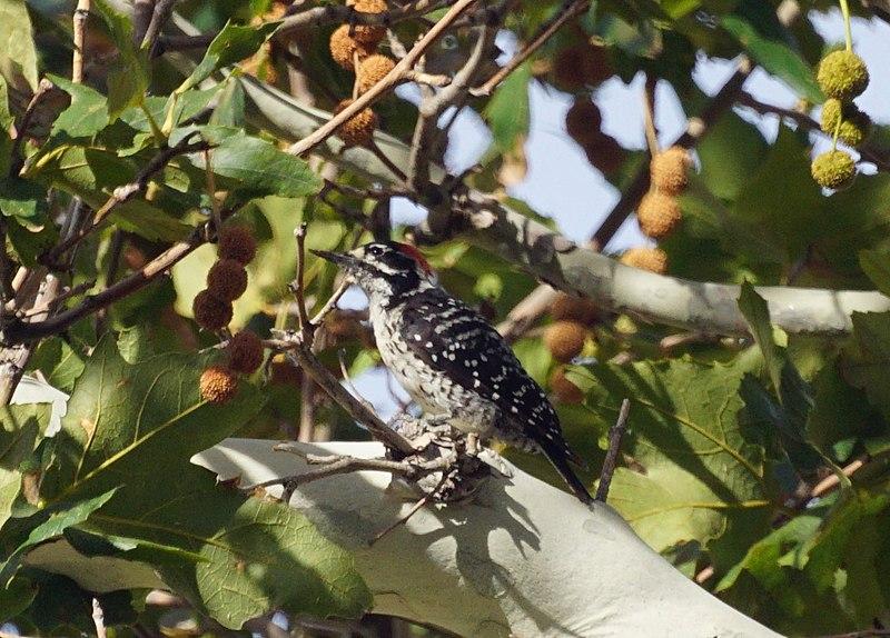 File:Woodpecker (14452682780).jpg