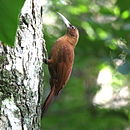 Xiphocolaptes major Great Rufous Woodcreeper.JPG