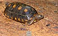 Yellow-footed Tortoise (Chelonoidis denticulatus) (41025478171).jpg