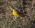 Yellow-throated Longclaw (Macronyx croceus) (21152279025).jpg
