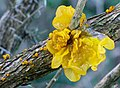 Yellow Brain Fungus. Tremella mesenterica, on gorse (32728453125).jpg