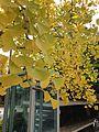 Yellow leaves of ginkgo biloba in Hiyoshi Shrine in Yanagawa, Fukuoka.jpg