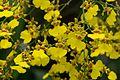Yellow mass of orchids (28416350010).jpg