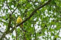 Yellowhammer-philwjan.jpg