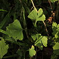 Young Ginkgo trees.jpg