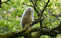 Young Tawny Owl Campsie Hills.jpg