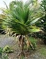 Young rosette of Rodrigues screwpine - Pheterocarpus - 5 senses 4.jpg