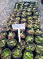Z Bois banane - Gaertnera psychotroides - ferney nursery.jpg