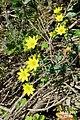 Zakynthos flora (35767791781).jpg