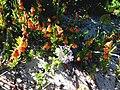 Zaluzianskya villosa lilac bush.JPG