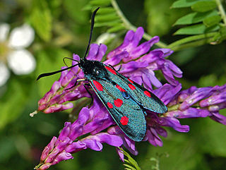 <i>Zygaena lonicerae</i> Species of moth