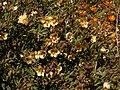 Zygophyllum fulvum Klaver 02.jpg
