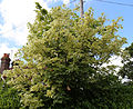 "'Acer platanoides' ""Drummondii"" ~ Silver Variegated Norway Maple at Shipley, West Sussex, England.JPG"