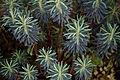 'Euphobia characias susp. wulfenii' Capel Manor College Gardens Enfield London England.jpg