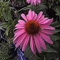 'Prairie Splendor' echinacea IMG 7732.jpg