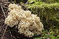 'Rooting Cauliflower Mushroom', Sparassis radicata (10495968025).jpg