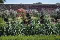 'Zea mays' maize hedged border in Walled Garden of Parham House, West Sussex, England.jpg