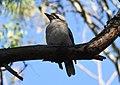 (1)Kookaburra Centennial Park-6.jpg