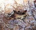 (2009) Maple Prominent (Ptilodon cucullina) (34676225244).jpg