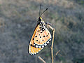 (Danaus chrysippus) plain tiger at Gandhinagar Park 04.JPG