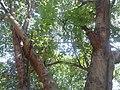 (Grewia tiliifolia) Cahrachi Tree at Kambalakonda 01.JPG