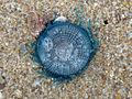 (Porpita porpita) Blue button at Thotlakonda Beach 01.JPG