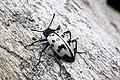 ? Tenebrionidae (29692230336).jpg